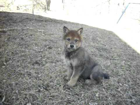 Wolf dog puppies for sale-high content