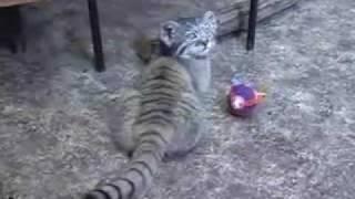Домашний котенок манул