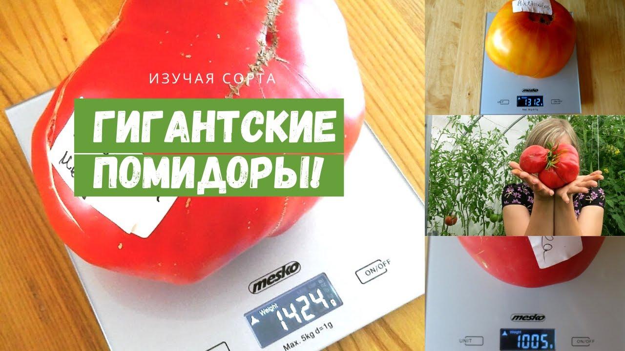 Сорта томата с гигантскими плодами