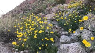 Scenes from the super bloom at Anza-Borrego Desert State Park in So...