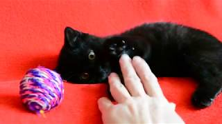 Купить черного шотландского котенка? Котята для Вас!