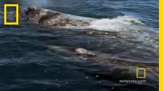Killer Whales vs. Gray Whales | National Geographic