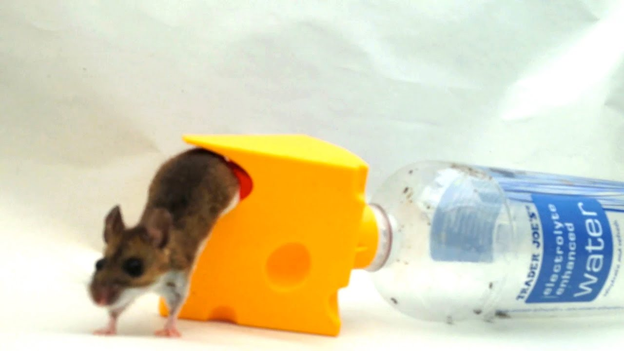 mouse trap made from plastic bottle in action youtube
