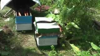 Колодное пчеловодство. Часть 4. Соединение слабых роев. ПРП Счастливое, Молдова.