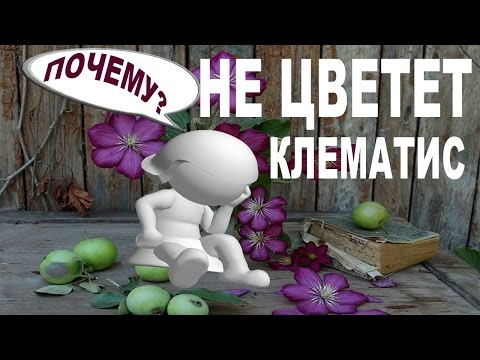 НЕ ЦВЕТЕТ КЛЕМАТИС?  – 10 ответов от Нины Петруша и канала КЛЕМАТИС TV - почему не цветет клематис