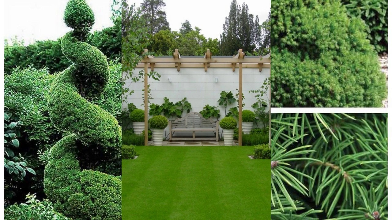 Hermosos mejores peque os rboles de jard n para la casa for Tipos de pinos para jardin fotos
