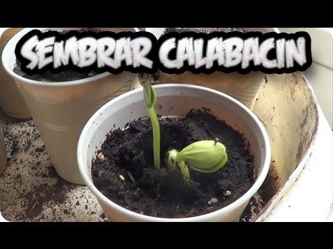 Como sembrar calabacin el semillero la huertina de toni for Como cultivar peces en casa