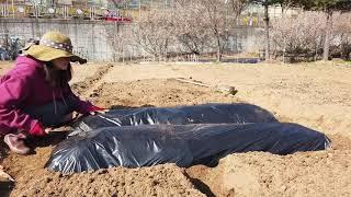 농사의 시작! 비닐 멀칭하기. 텃밭 주말 농장을 가꾸기…