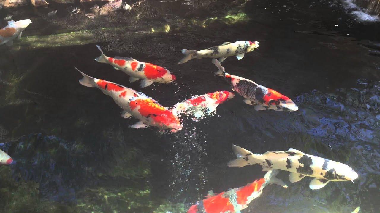 My koi pond 2016 youtube for Koi youtube