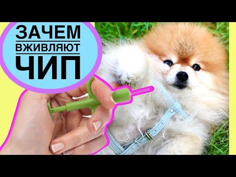 Для чего проводят чипирование собак: особенности технологии