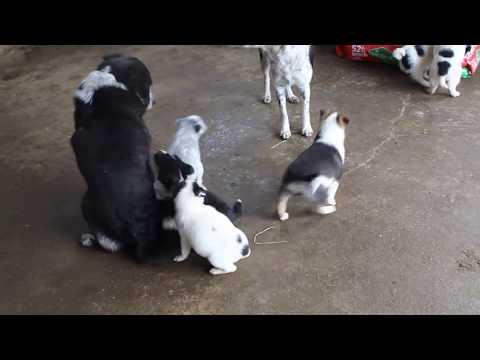 Blue Heeler Mix Puppies For Sale