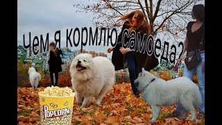 Чем кормить собаку породы Самоед?