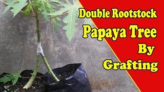 How to Grafting Papaya Trees With Double Rootstock by Grafting Examples