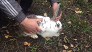 Лечение Вздутия живота у кроликов массажем