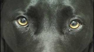 Rex: Black Labrador Retriever (we Need A Bigger House)
