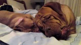 Dogue De Bordeaux Puppy Playing With Adult Dog Of The Same Breed