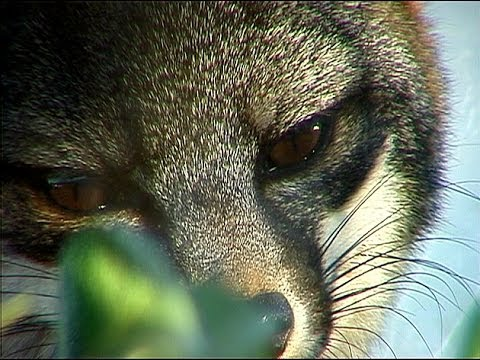 Tracks in the Sand: Saving the Catalina Island Fox