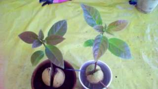 When to transplant avocado seeds to a container.
