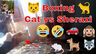 Cat vs Sherazi Boxing Funny Cat