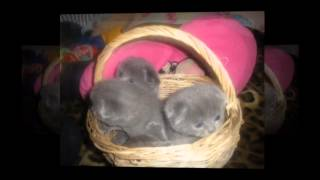 Вислоухий кот - милашка