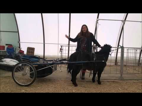 Harnessing Your Miniature Horse - Part Two
