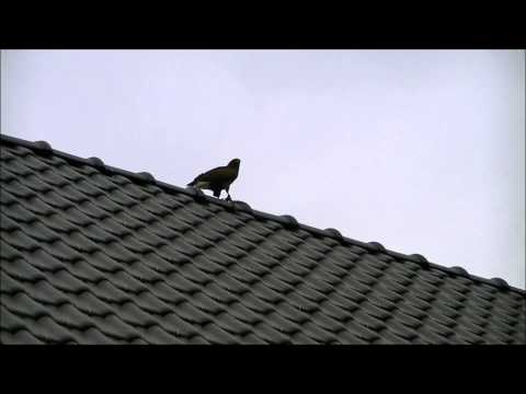 Training Harris Hawk on a quadcopter