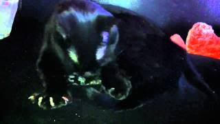 Crazy polydactyl cat