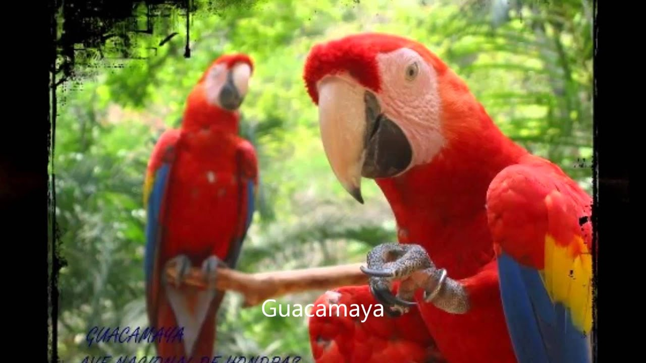 Animales En Peligro De Extinci U00f3n En Honduras