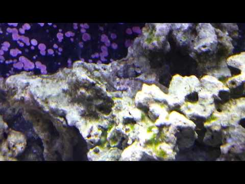 Sailfin Blenny eating