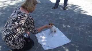 Toy Fox Terrier PiP obedience training