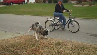 Blue Ridge Husky Rescue - Smokey - Tries Urban Mushing