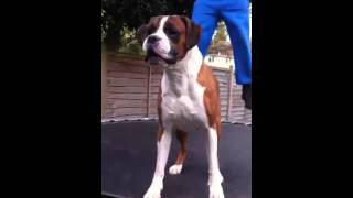 Boxer Dog On A Trampoline
