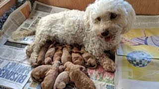 Mother Havanese giving birth to cute pups