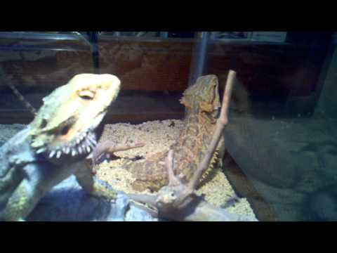 Two bearded dragons about 13-14 months old