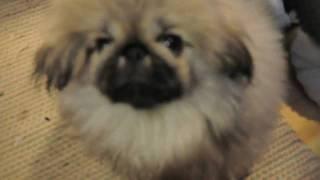 北極圏で発見した犬。お店の入口に佇む姿、、それは黄ばんだ綿の様。。 ...
