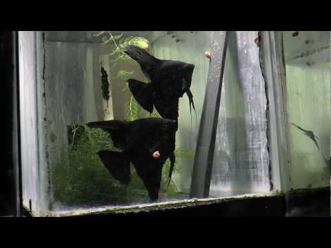 Black Angelfish Breeding Pair 2273