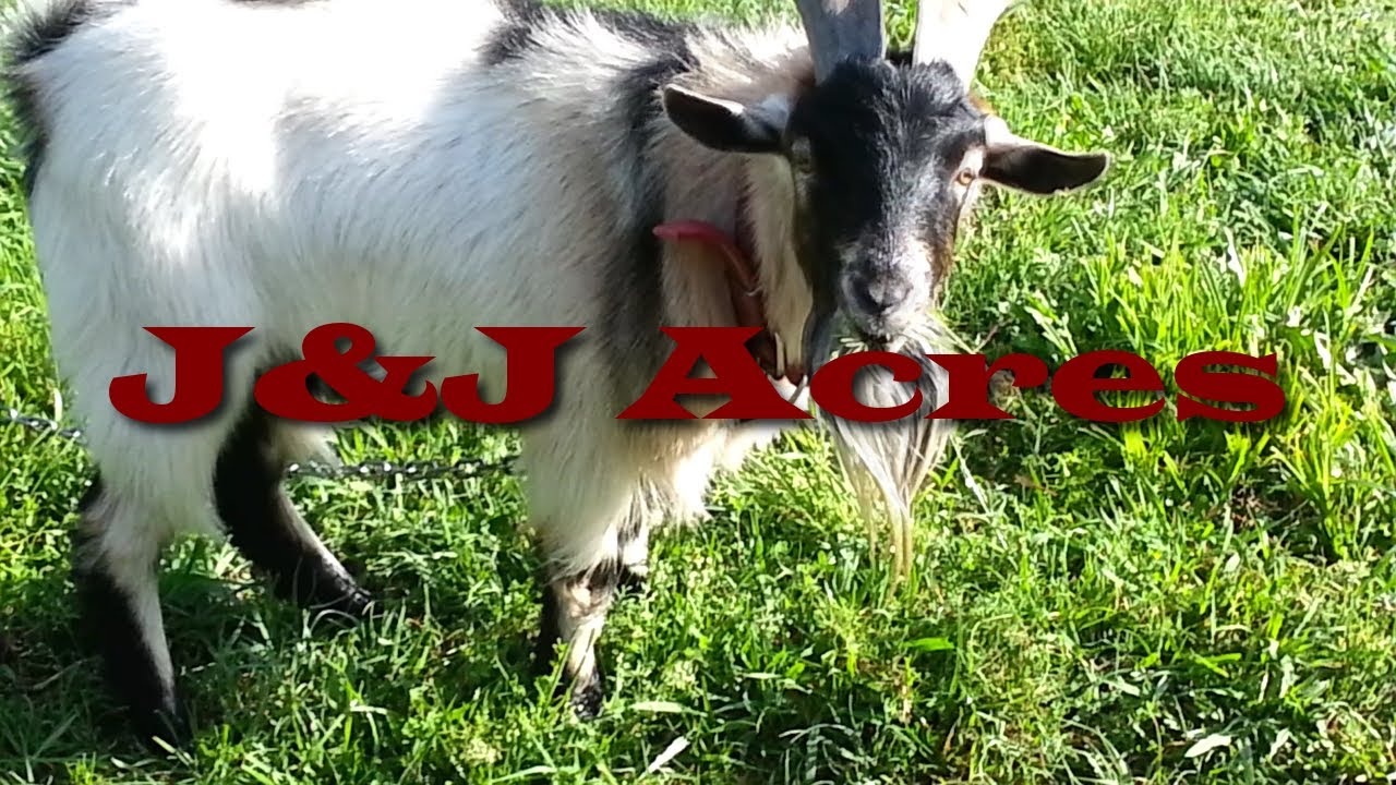keeping goats for weed control time to mow the yard youtube