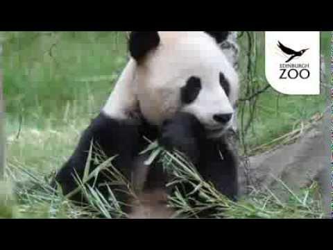 Giant Pandas at Edinburgh Zoo
