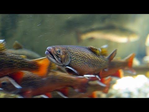 Strip Spawning Southern Appalachian Brook Trout
