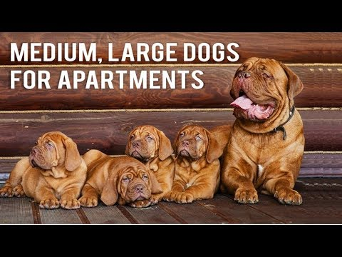 Top 10 large dogs for apartments