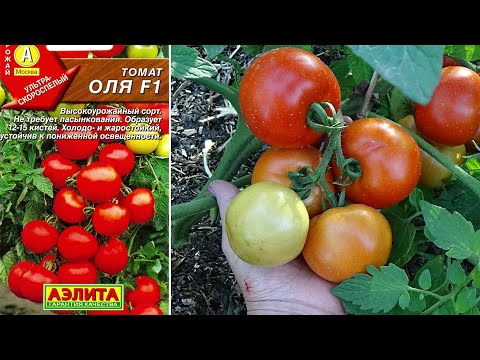 Отличный томат для открытого грунта Гибрид ОЛЯ F1 Обзор сорта | штамбовые | помидоров | открытого | помидоры | томатов | томаты | теплиц | лучшие | грунта | сорта