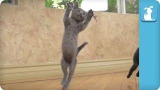 Kittens Playing Like Epic TIGERS - SUPERCUT(E)