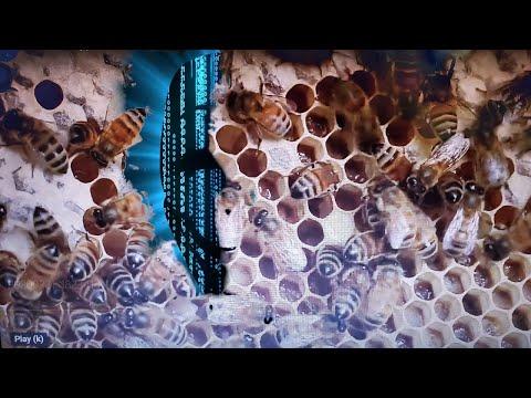 Пчелы во  сне.  Муравьи, блохи, вши во сне. Что значат пчелы.  муравьи, блохи. вши во сне.  Сонник.