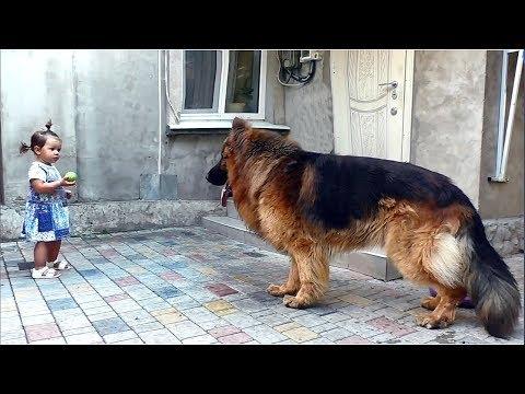 Дольф и его семья. Кобель длинношерстной немецкой овчарки 3 года. Long-haired German Shepherd.