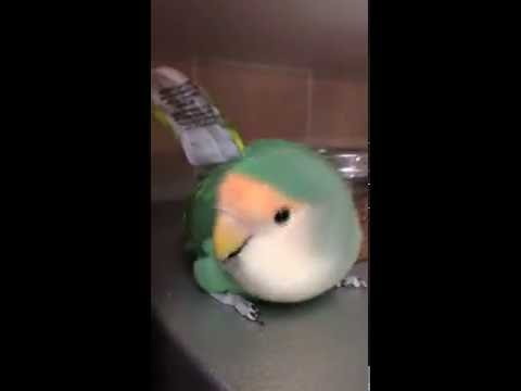 Tookie the Lovebird Dancing