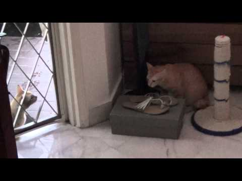 Cats hissing at each other, the male outdoor cat appears to be the orange kitten's dad