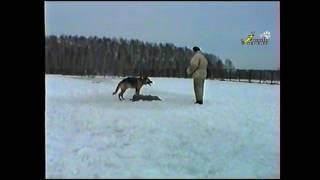 Дрессировка 90-х, ЗКС, свободная охрана вещи, немецкая овчарка