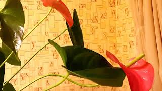 Антуриум.цветок мужское счастье.(Антуриум.цветок мужское счастье., 2016-02-25T16:09:28.000Z)