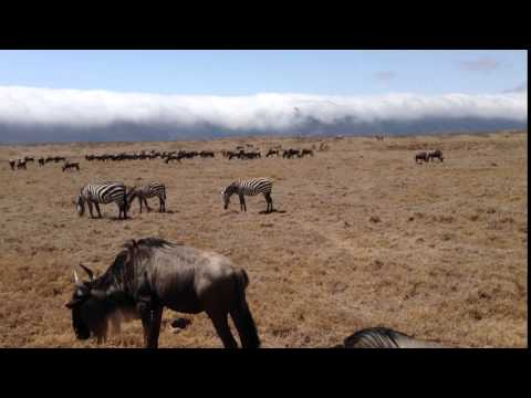 Ngorongoro:  wildebeests and zebras grazing