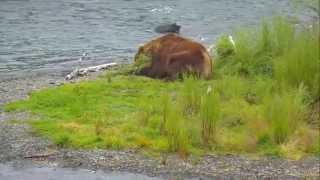 Дикая природа Аляски Медведь - философ наелся жирного лосося в водопадах реки Брукс и спит(ПОВЕДЕНИЕ и ПОВАДКИ ЖИВОТНЫХ МЕДВЕДИ в ЗАПОВЕДНИКЕ и ДИКАЯ ПРИРОДА WILDLIFE ЖИВОТНЫЕ В прямом эфире - потоковое..., 2015-09-13T09:07:30.000Z)